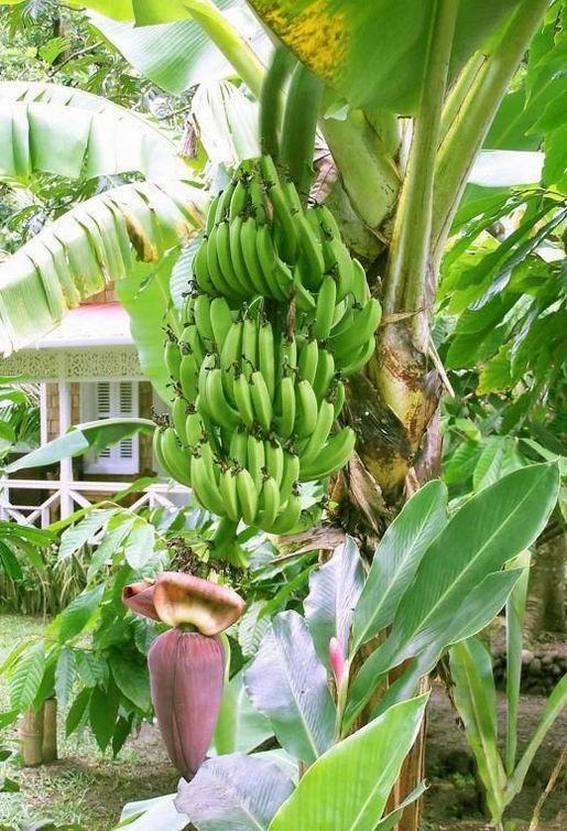 Бананы<br>Банановые